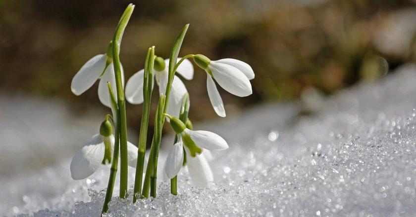kardelen-snowdrop