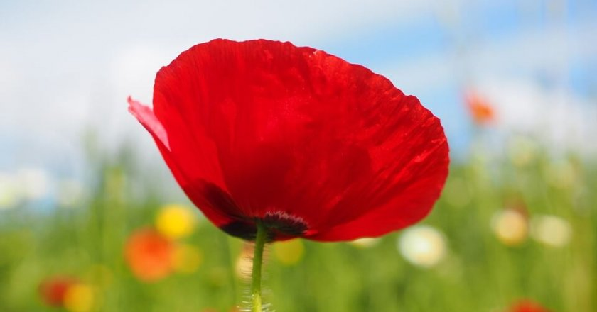gelincik-red-flower-poppy