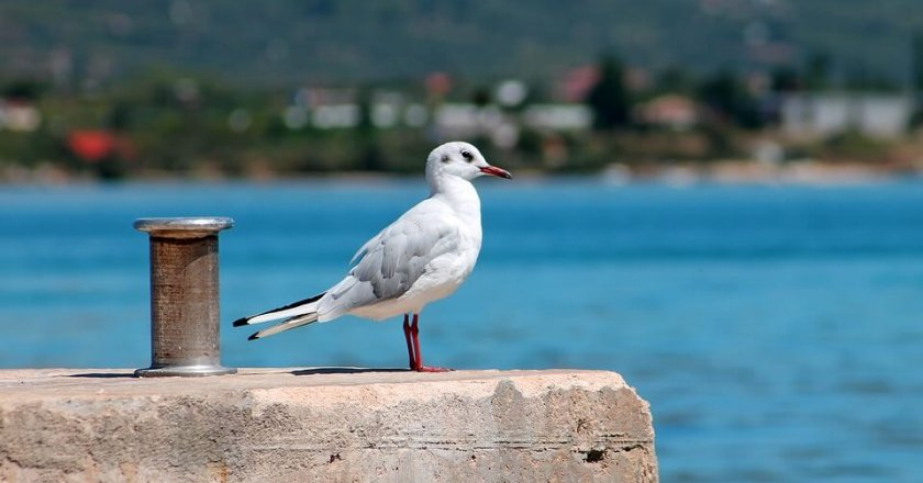 martı albatross